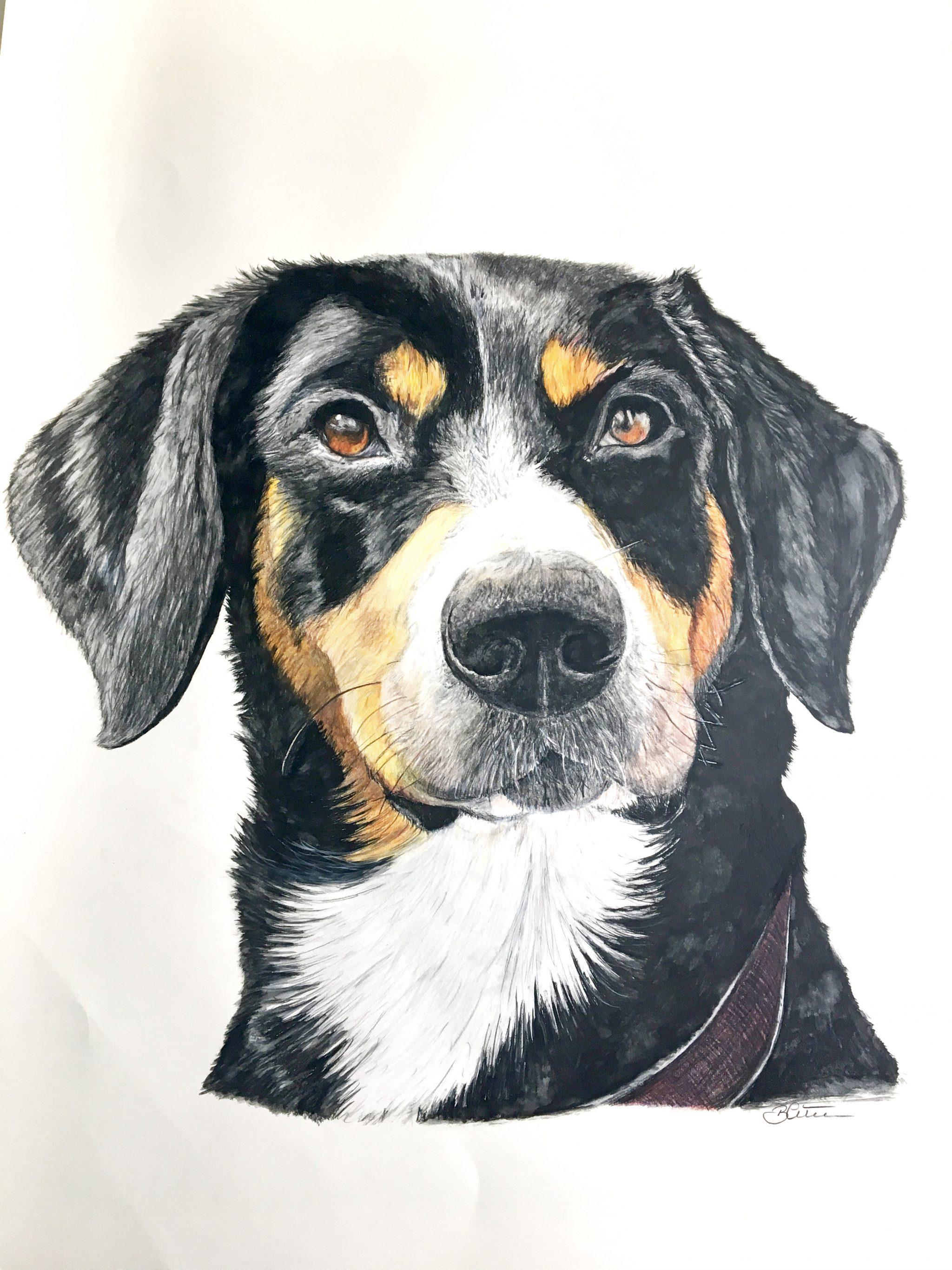Sennenhund, Zeichnung Buntstifte/Papier, 80cm x 60cm